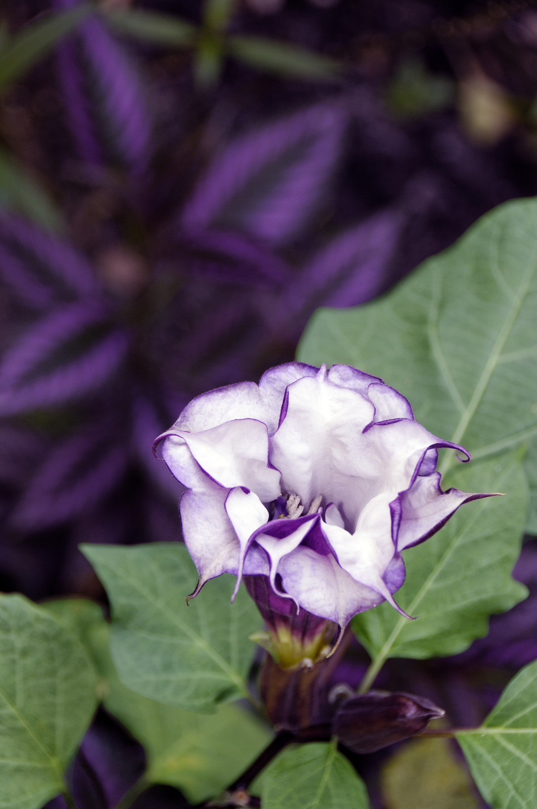 Block_Datura-metel-royalty-free-picture-for-NDNR-article_2014
