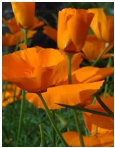 Stansbury_April_2014_poppy photo