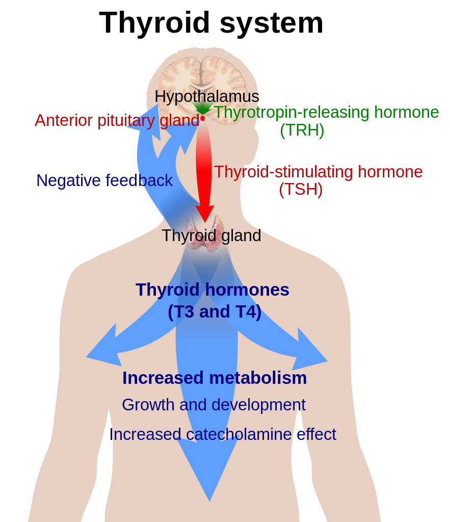 Peirson_Figure-1_Thyroid-System