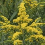 Solidago: An Inflammation Modulator