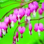 Dicentra spp: Remembering a Forgotten Medicine