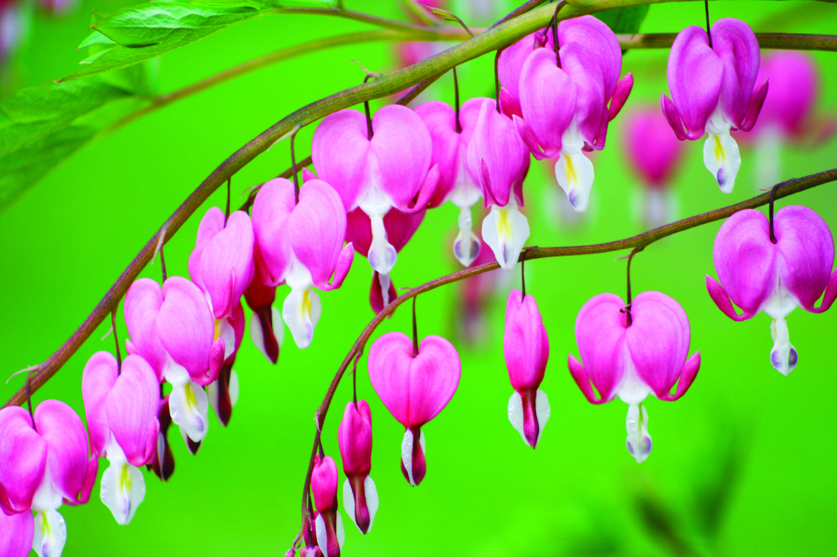 Dicentra Spp Remembering A Forgotten Medicine Naturopathic Doctor News And Review