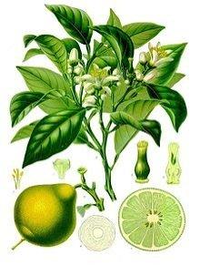 citrus-bergamia
