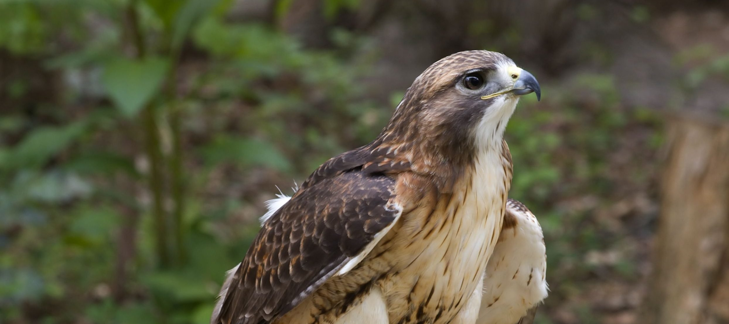 Dramatic Cure For Depression A Case Of Red Tailed Hawk