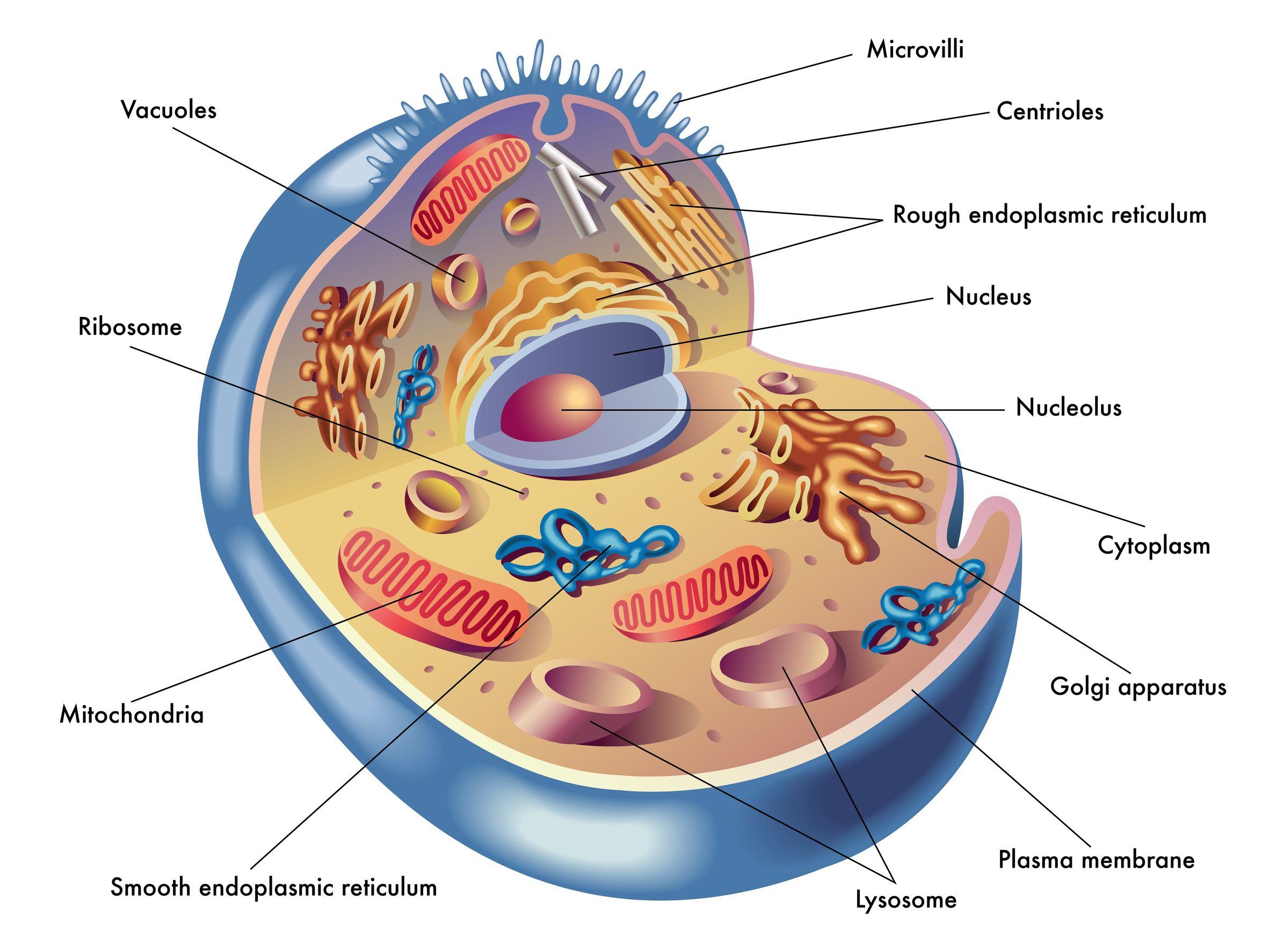 Pqq A Vital Nutrient For Mitochondrial Health Memory Metabolism