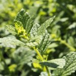 Research Supports the use of Melissa Officinalis (Lemon Balm) in the Treatment of PMS
