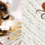 Chronic Tick-borne Infections: Relief Using Bee Venom Treatment?