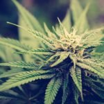 Could Cannabinoids Induce Seizures?