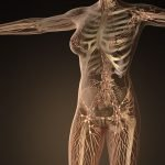 The Lymphatic System: A Critical Factor in Female Hormonal Balance