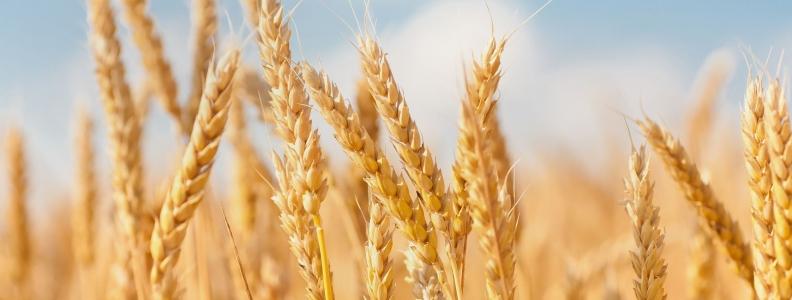 Barley Helps Improve Blood Sugar Levels, Reduce Appetite