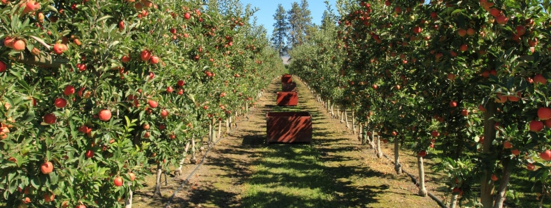 Beware Homes Built on Old Orchards