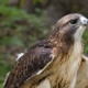 Dramatic Cure for Depression: A Case of Red-Tailed Hawk
