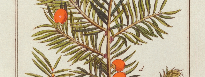 Taxus brevifolia (Pacific yew) and Cancer
