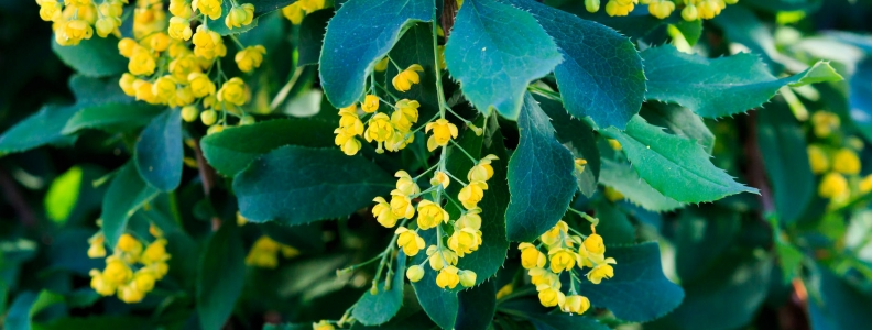 Yellow Medicine: The Berberine Alkaloid Plants