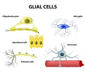 Astrocytes May Play Role in Circadian Rhythm