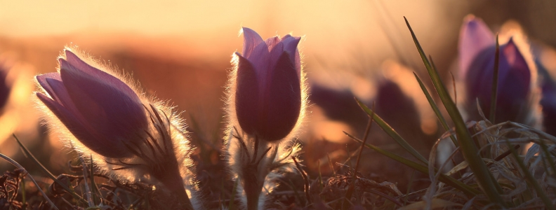 It Was a Pulsatilla Day