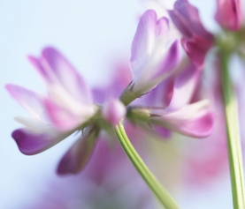 Astragalus: Use of the Herb in the Treatment of Allergy & Autoimmunity