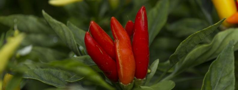 Botanical Medicines for Treatment of Fibromyalgia