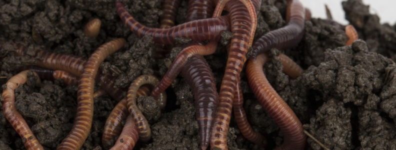 Worms and Germs Lead to Better Immune Function