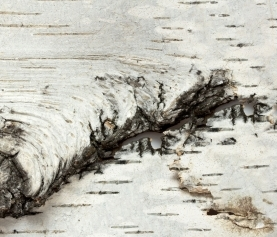 The Medicine of The Birch Tree: Beyond Depurative