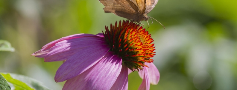 Echinacea: A Brief History of Use and Research