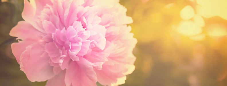 Peony for Women's Health and Beyond