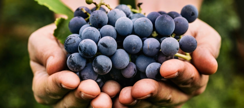 Compounds From Grapes May Be Next Antidepressants