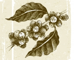 American Botanical Council finds sponsor for Coffee Fruit Research