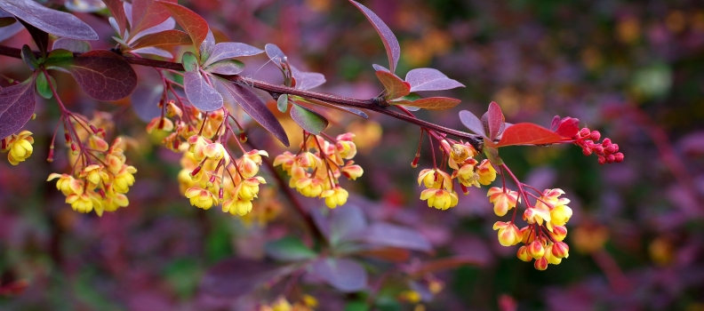Berberine For Irritable Bowel Syndrome