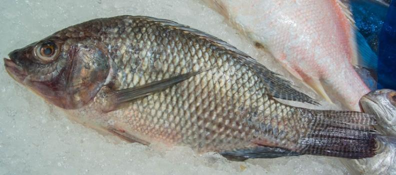 Fish Skin to Treat Second/Third Degree Burns