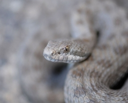 Rattlesnake's Venom to Help Against Hepatitis C