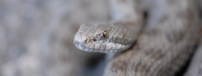 Rattlesnake's Venom to Help Against Hepatitis C