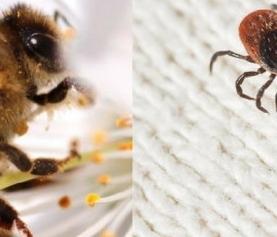 Chronic Tick-borne Infections: Relief Using Bee Venom Treatment?