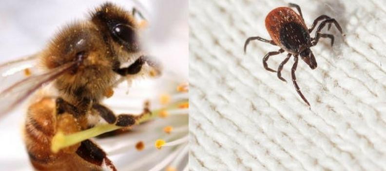 Chronic Tick-borne Infections: Relief Using Bee Venom