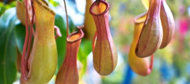 The Magic of the Pitcher Plant